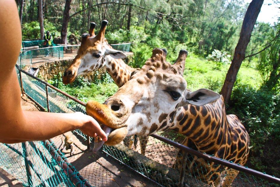 Giraffenfütterung im Haller Park, Mombasa