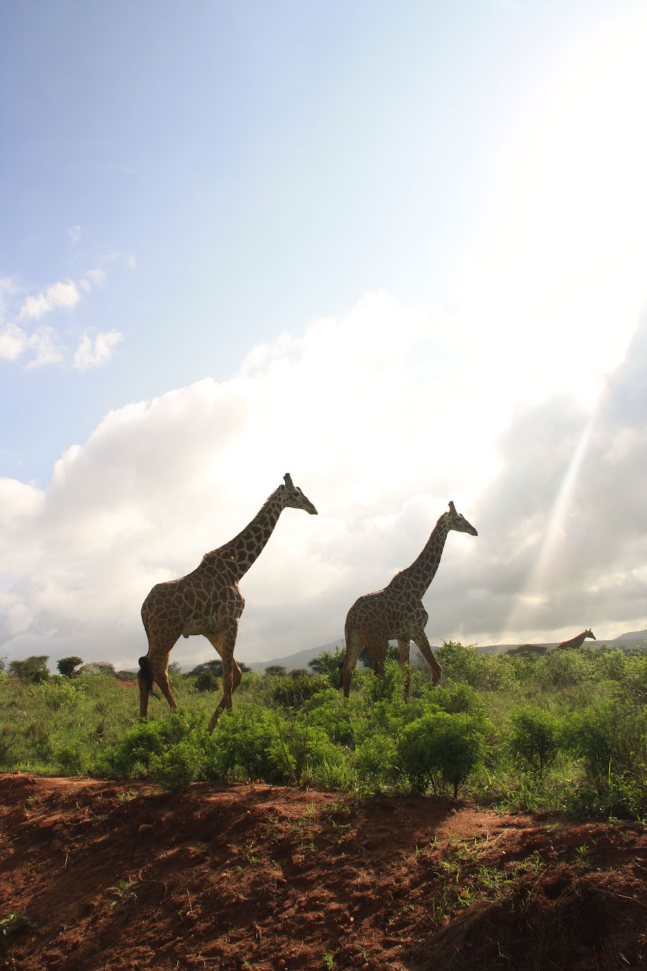 Giraffen in Tsavo West