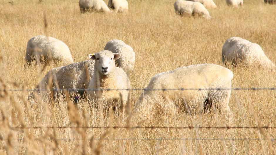 Schafsweide, Neuseeland