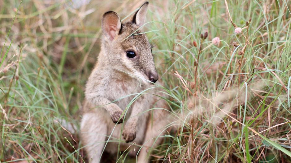 Wallabie im Gras der nordaustralischen Tablelands, Wet Tropics