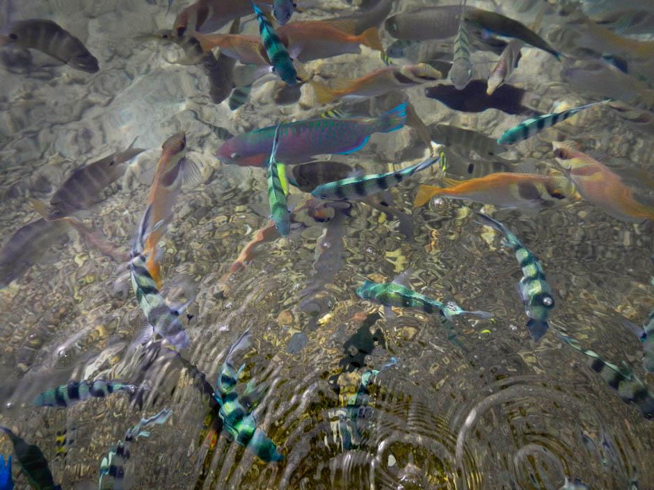 Fische am Strand von Koh Tao