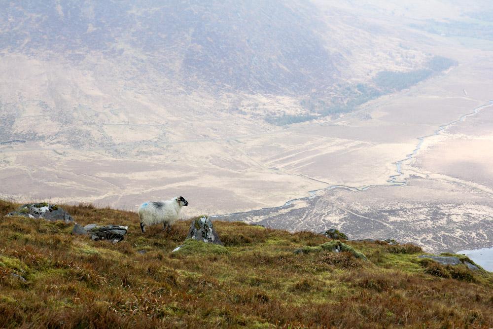 Schaf am Conor Pass, Dingle Peninsula, Irland
