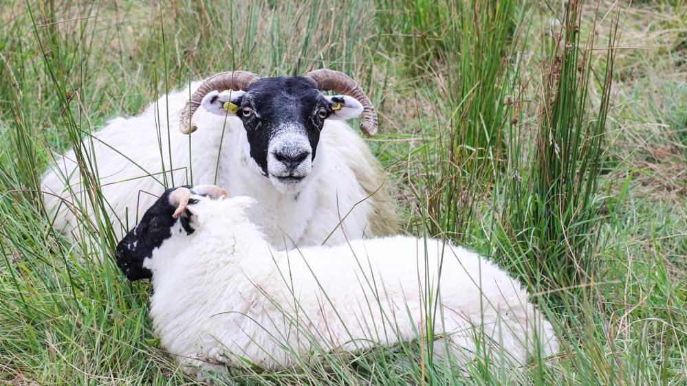 Schafe, Isle of Skye